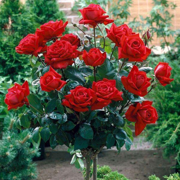Trandafir tip pomisor